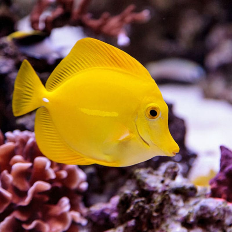Yellow Tang Fish, Zebrasoma Flavenscens